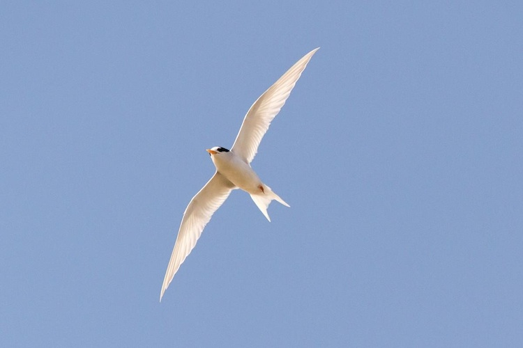 Inset Image-Tara Iti GC-endangered shore birds outnumbered golfers copy